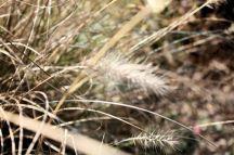 fountain grass (fall)