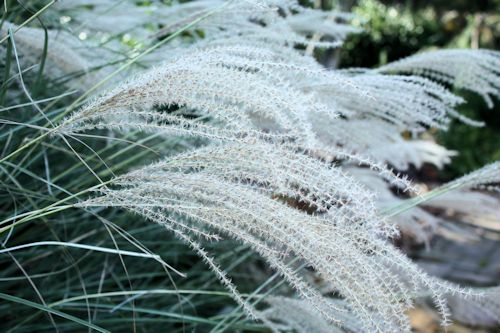 Winter ornamental grass care a guide to landscape design maintenance winter ornamental grass care workwithnaturefo