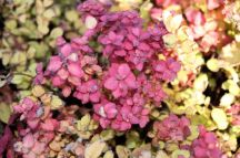 Spirea Limemound Fall Color