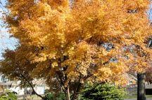 Coral Bark Maple Fall Color