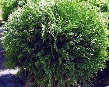 Evergreen trees shrubs a guide to landscape design maintenance evergreen trees shrubs sciox Images