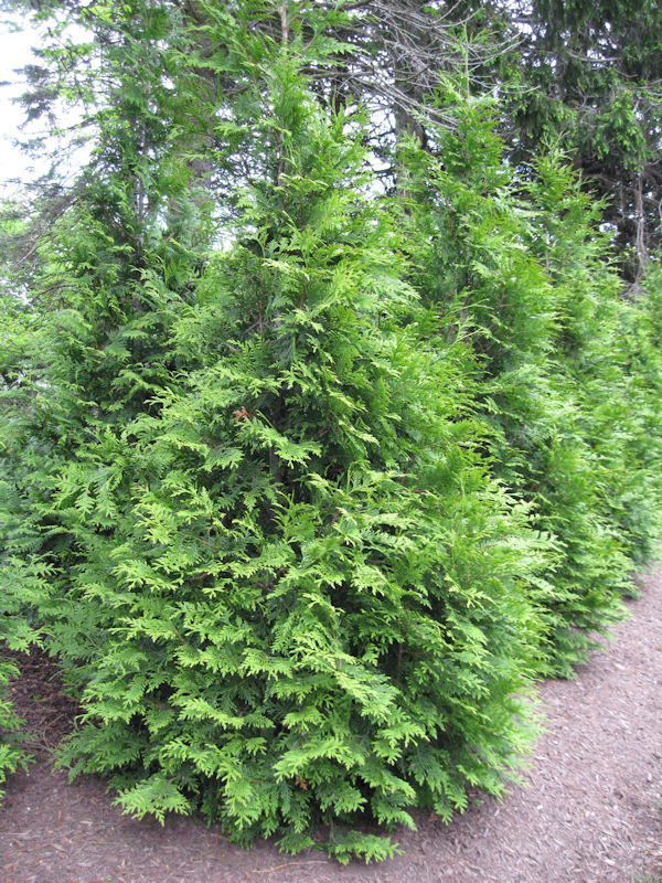 Evergreen trees shrubs a guide to landscape design maintenance evergreen trees shrubs click on photo for plant names and slideshow sciox Images