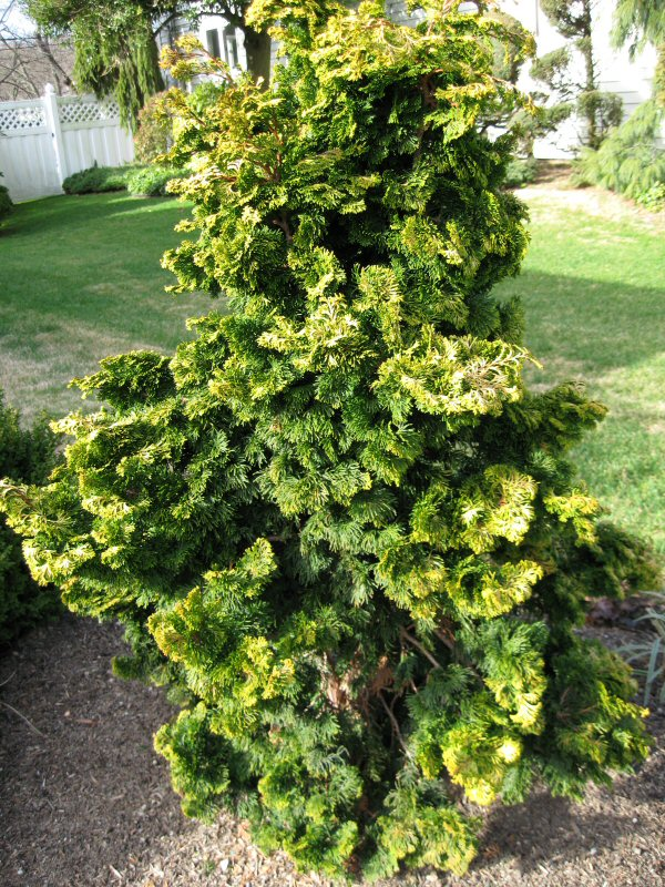 Landscaping With Evergreen Shrubs : Evergreen trees shrubs a guide to landscape design maintenance
