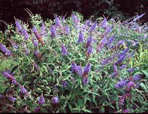 Buddlea (butterfly bush)