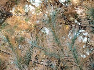 pine damage