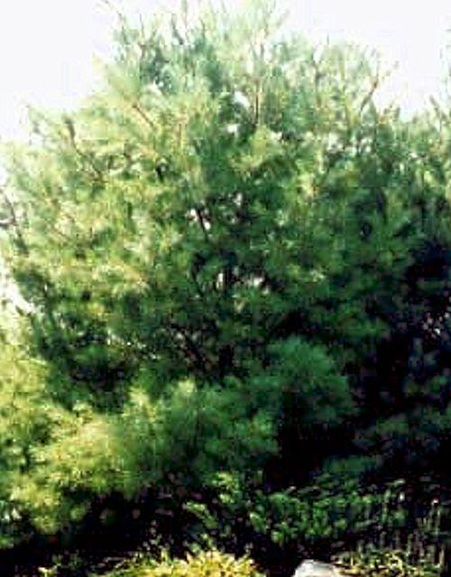 Pinus strobus (Eastern White Pine)