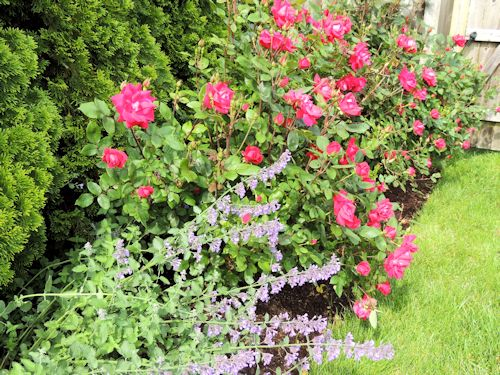 Double Knock Out Roses and Nepeta