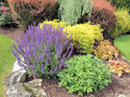 Salvia May Night A Guide To Landscape Design - designing flower gardens a long island