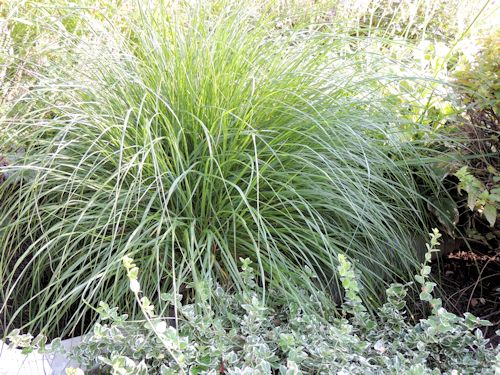 Perennials a guide to landscape design maintenance for Long ornamental grass