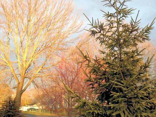 Coral Bark Maple Winter