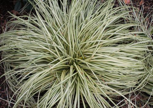 Carex 'Evergold' Sedge