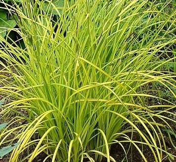 Carex 'Aurea'