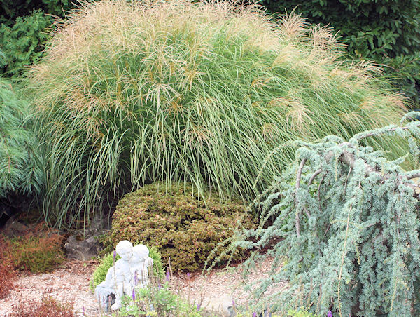 Dwarf ornamental grasses a guide to landscape design for Japanese ornamental grass varieties