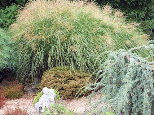 Maiden Grass Yaku Jima
