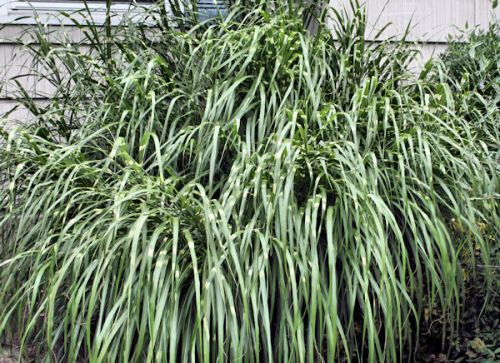 Ornamental grasses sedges for the landscape a guide to for Landscaping with zebra grass