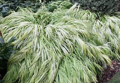 Halenkolea Japanese Forest Grass