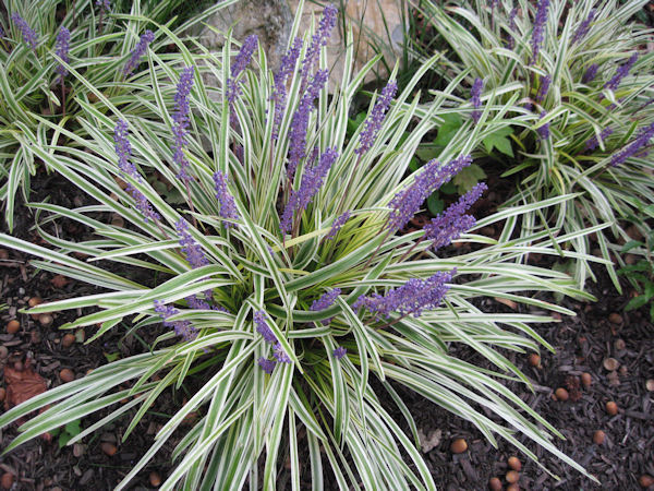 Feature plant liriope muscari variegata a guide to for Full sun perennial grasses