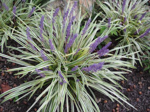 Feature Plant: Liriope muscari 'Variegata'