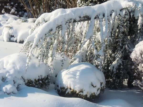 Winter burn on evergreens a guide to landscape design for Winter garden maintenance