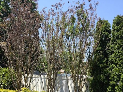 crape myrtle winter damage