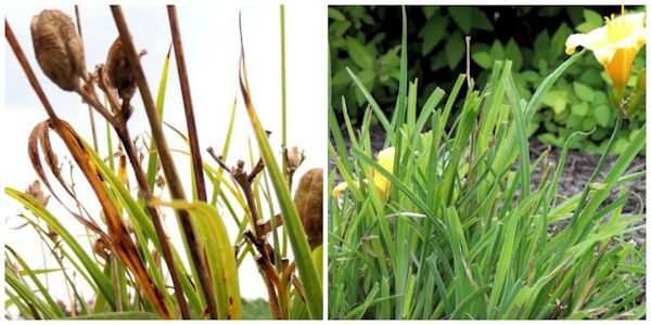 Late Summer Garden Rejuvenation of Daylilies