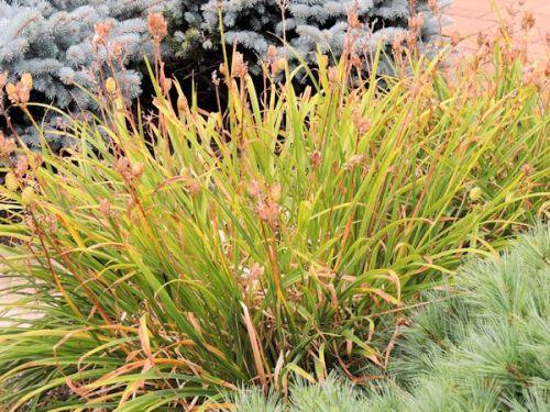 daylily rejuvenation