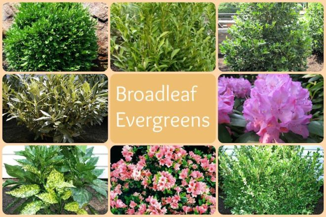 broadleaf evergreens