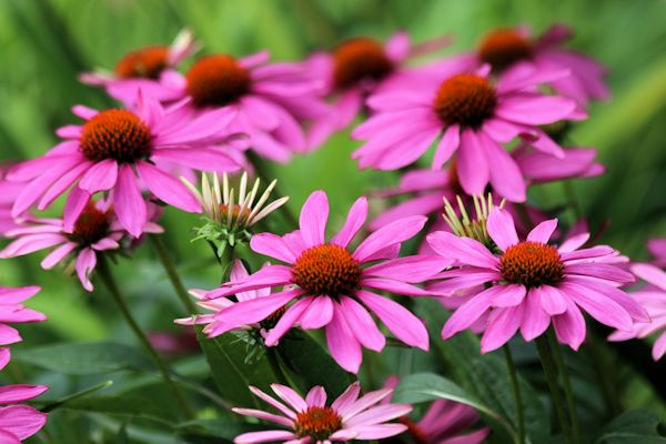Dwarf Ornamental Grasses Dwarf ornamental grasses a guide to landscape design maintenance 8 echinacea pow wow 5 workwithnaturefo