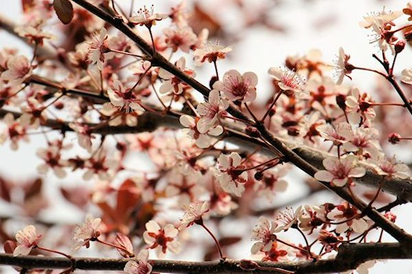 Krater Plum Blossoms 2