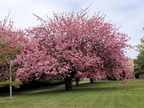 prunus kwazan cherry