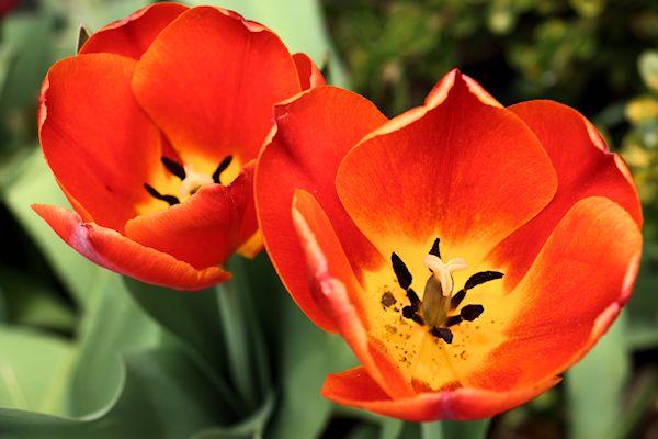 tulip, orange