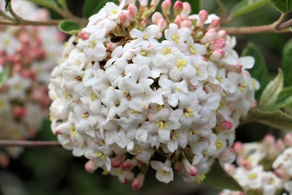 Viburnum Fragrant 2