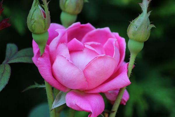 18 rose 2