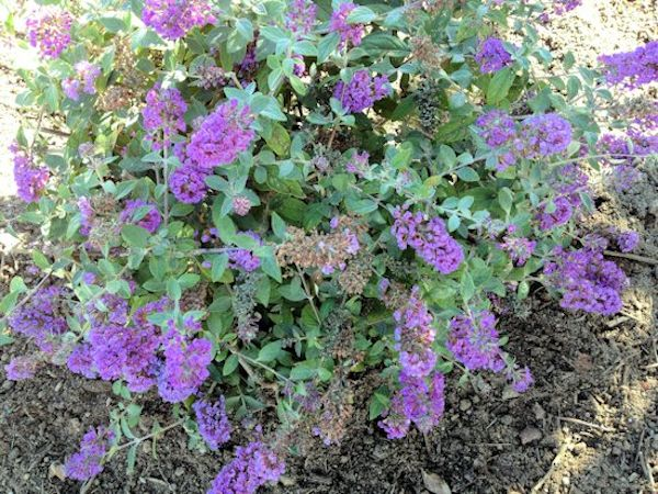 butterfly bush (dwarf) Buddleia Lo & Behold 'Blue Chip'