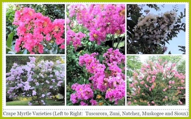 e Myrtle: Colorful Blooms for your Late Summer Garden! – A GUIDE on orange tree garden, peach tree garden, apple tree garden, tea tree garden, orchard tree garden, peony tree garden, guava tree garden, rose tree garden, grape tree garden, olive tree garden, fruit tree garden, cherry tree garden, japanese maple tree garden, pine tree garden, white tree garden, pepper tree garden, coconut tree garden, mango tree garden, lilac tree garden, raspberry tree garden,