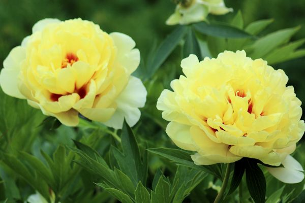 Growing And Maintaining Itoh Peony A Guide To Landscape Design